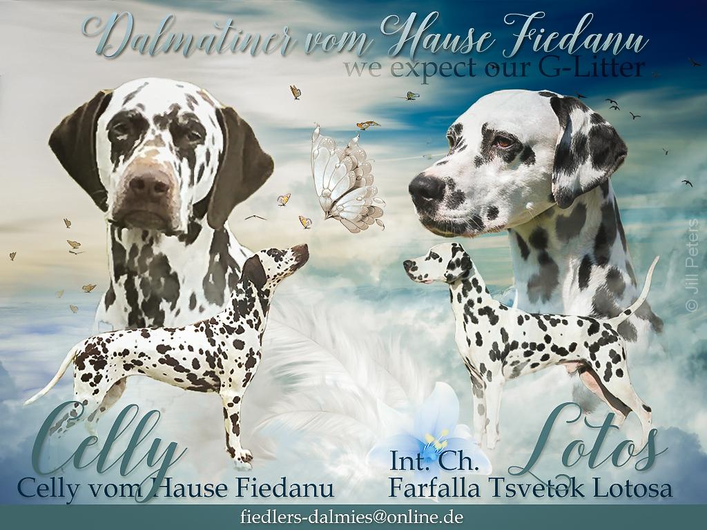 G Wurf Dalmatiner vom Hause Fiedanu